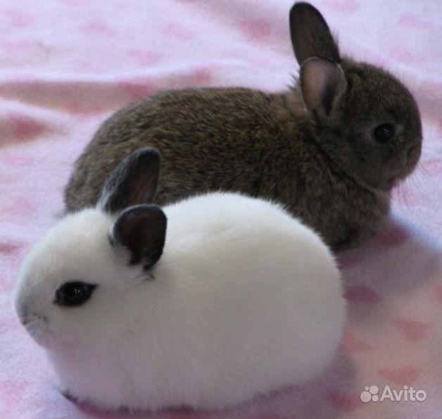 Карликовые декоративные кролики от заводчика в Москве - фотография № 1