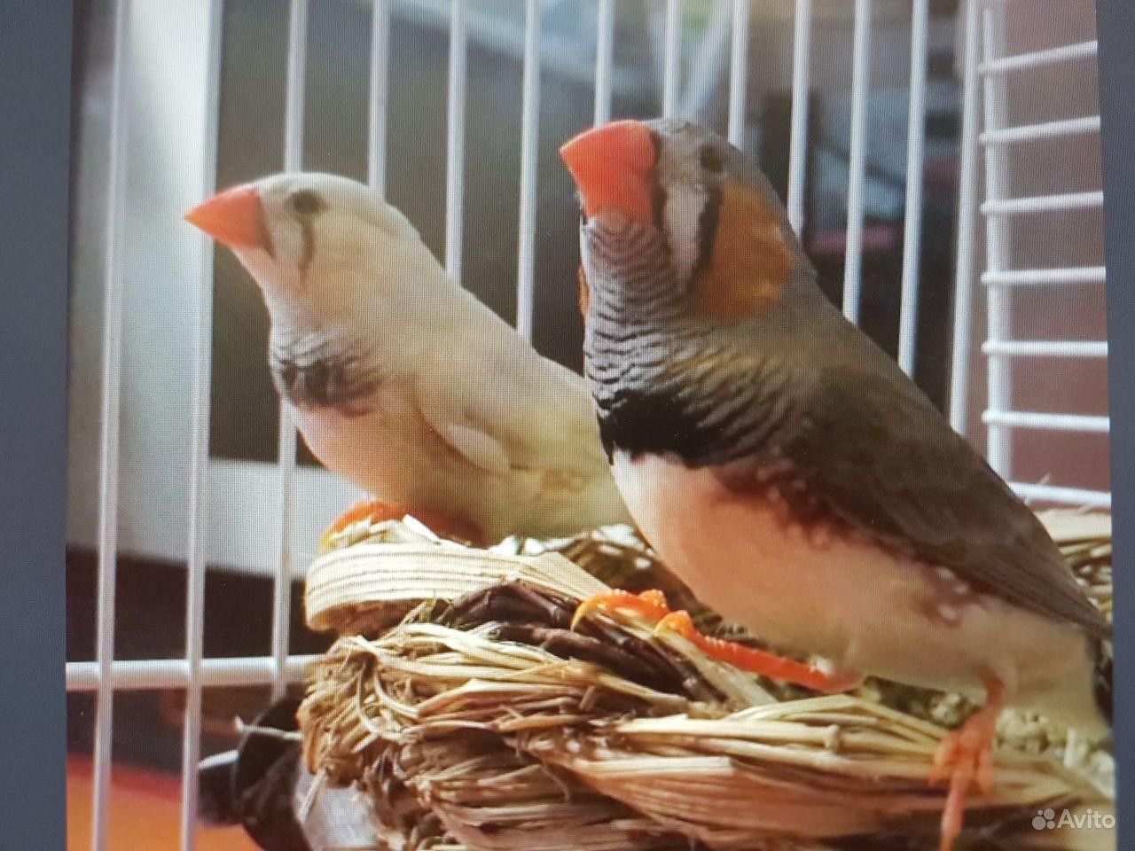 Птицы. Амадины