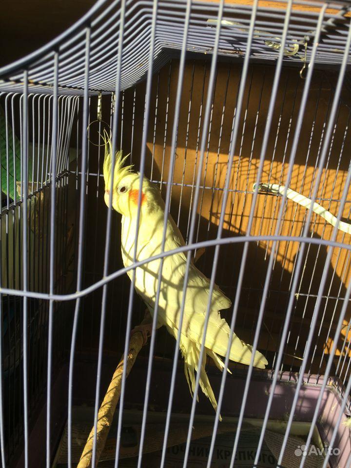 Продам попугая Карелла