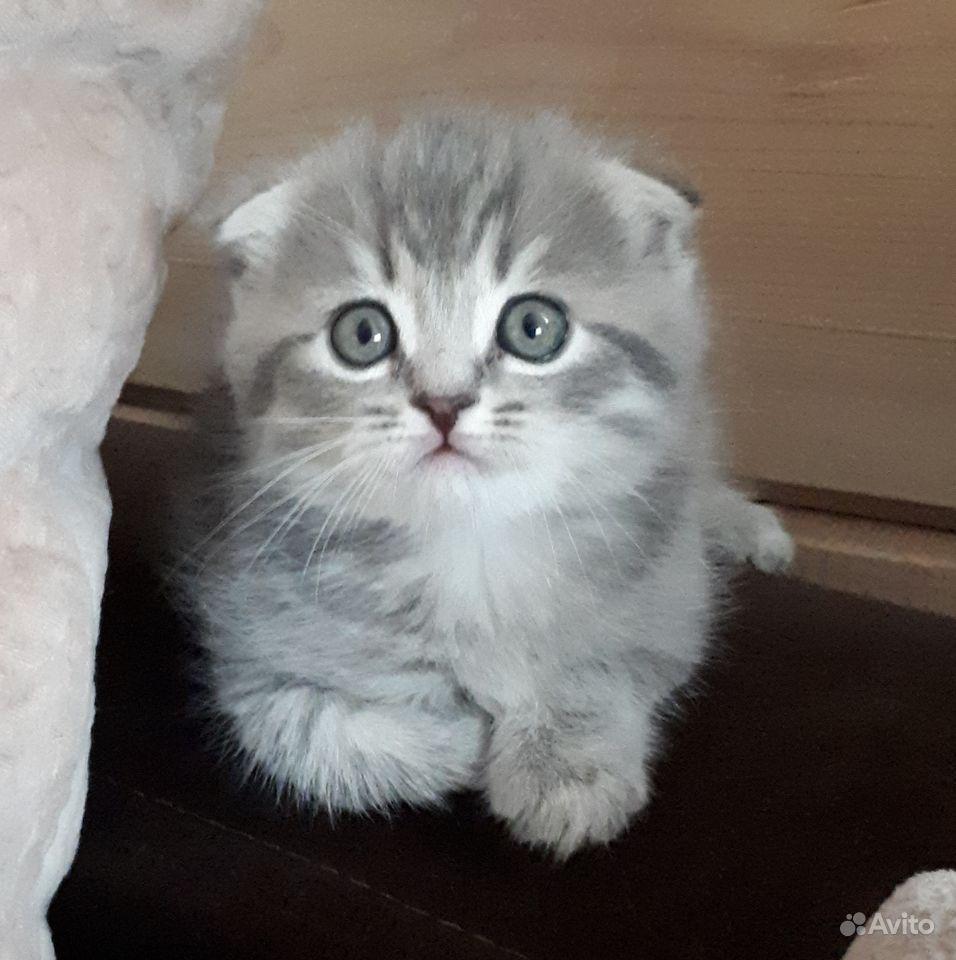Шотландские (британские) котята