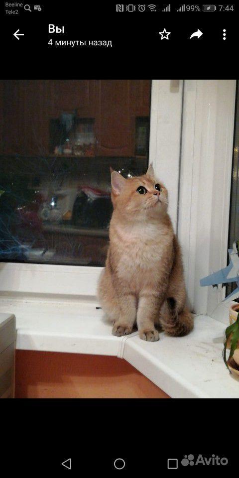 Котик британец очень добрый