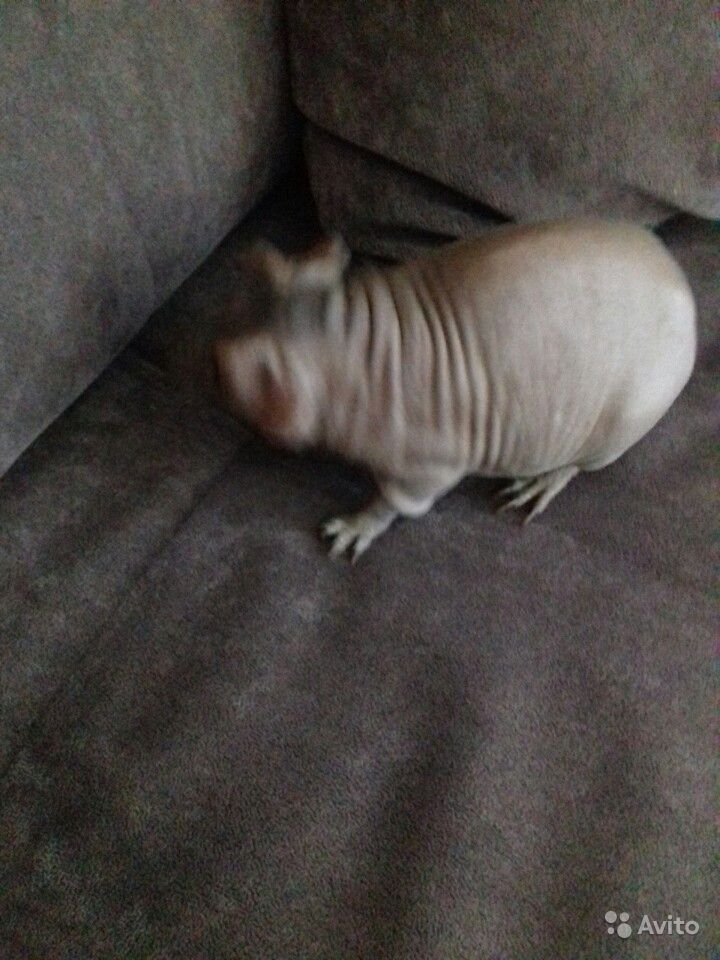 Свинка скини