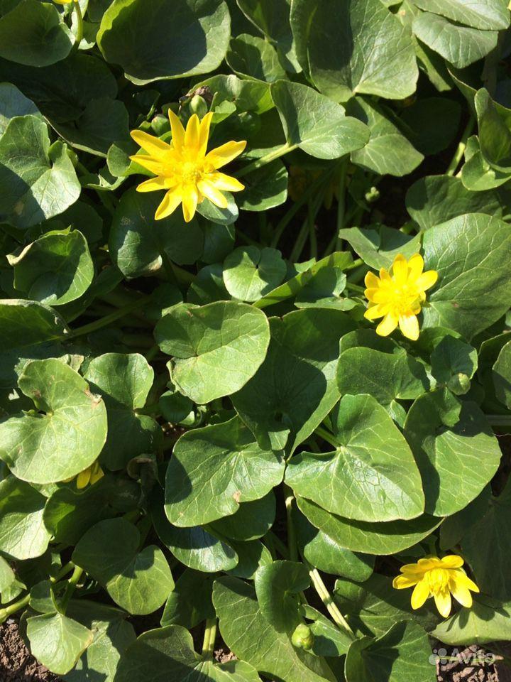 Многолетние растения и цветы купить на Зозу.ру - фотография № 2