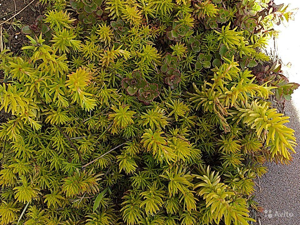 Почвопокровные растения купить на Зозу.ру - фотография № 2