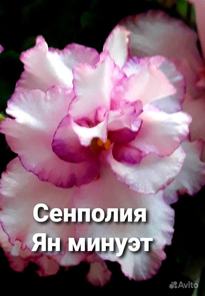 Фиалка - счастье в доме купить на Зозу.ру - фотография № 1