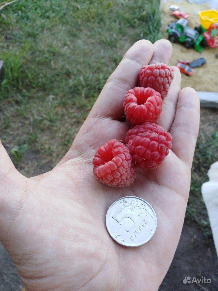 Саженцы малины купить на Зозу.ру - фотография № 3