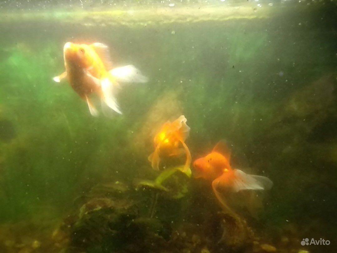 Золотые рыбки купить на Зозу.ру - фотография № 2