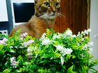 Вязка с абиссинским котом