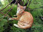 Шикарный, рыжий котёнок в хорошие руки