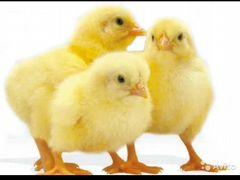 Цыпляты бройлеры