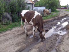 Коровы, тёлки