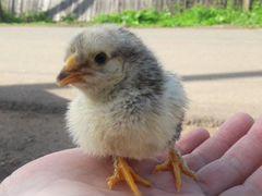 Цыплята домашние цветные