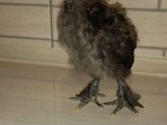 Цыплята сибирской мохноножки