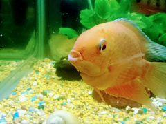 Рыба,крупная цихлиды