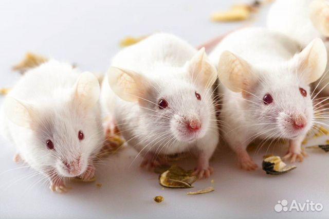 Мыши на корм  89132423842 купить 1