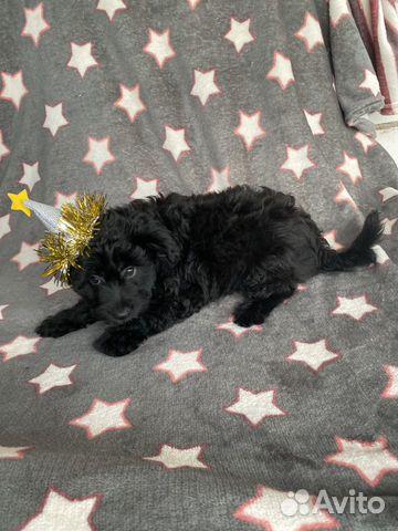 Ксолоитцкуинтли (пух ) мексиканская голая собака купить на Зозу.ру - фотография № 5