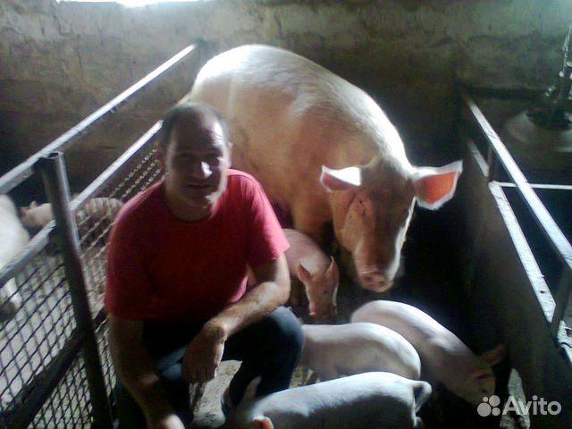 Sell pigs 89781451338 buy 1