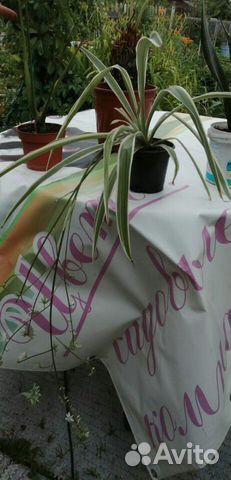 Комнатные растения  89512560859 купить 3