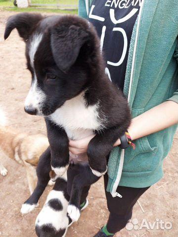 Собака  89160831536 купить 5