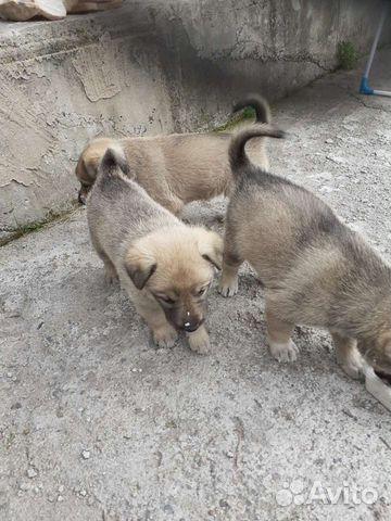 Собака  89016001601 купить 4