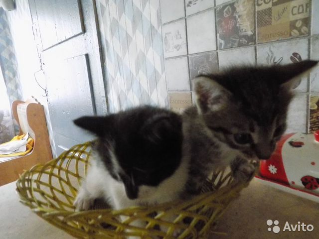 Отдам котят  купить 1