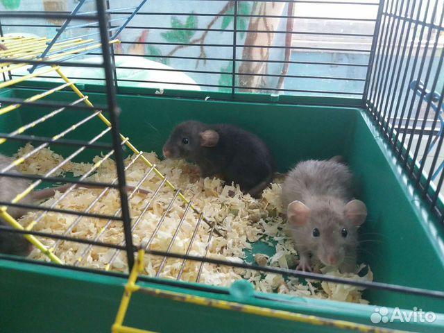 Крысята дамбо  89201636178 купить 3