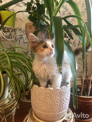 Котенок -Тигруня,девочка  купить 1