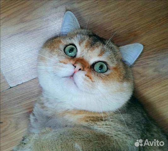 Элитный котенок - шиншилла