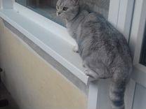Вязка. Шотландский кот