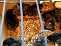 Арауканы, мараны, китайские шелковистые яйца, цыпл