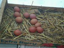 Яичные куры*Доминант*несутся.Хайсекс.цветное яйцо
