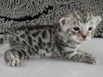 Бенгальские котята классического и редких окрасов