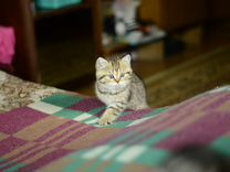 Котята-британцы :)
