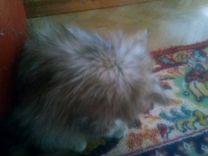 Отдам котят Шотландских веслоухих 3 месяца