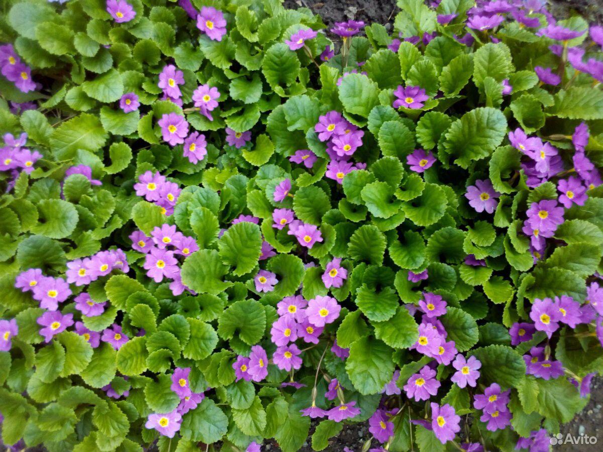 Растения садовые  89875767809 купить 1