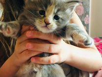 Продаю котят породы Мейн Кун