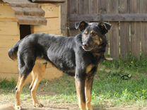 Пёс Амур