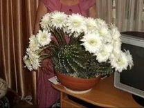 """Отростки цветущего кактуса """"Эхинопсиса"""""""