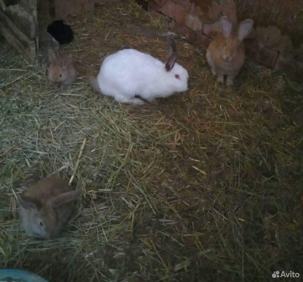 Кролики  89896573585 купить 4
