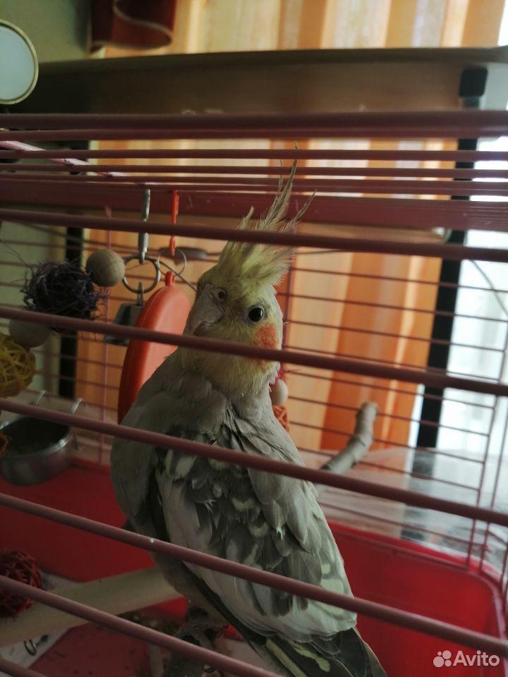 Попугай корелла  89103273094 купить 2