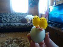Инкубационное яйцо. Пушкинская порода куриц. Питер